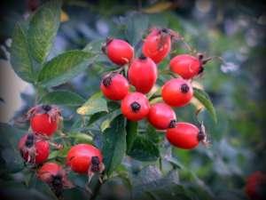 Ukusna i izuzetno ljekovita biljka