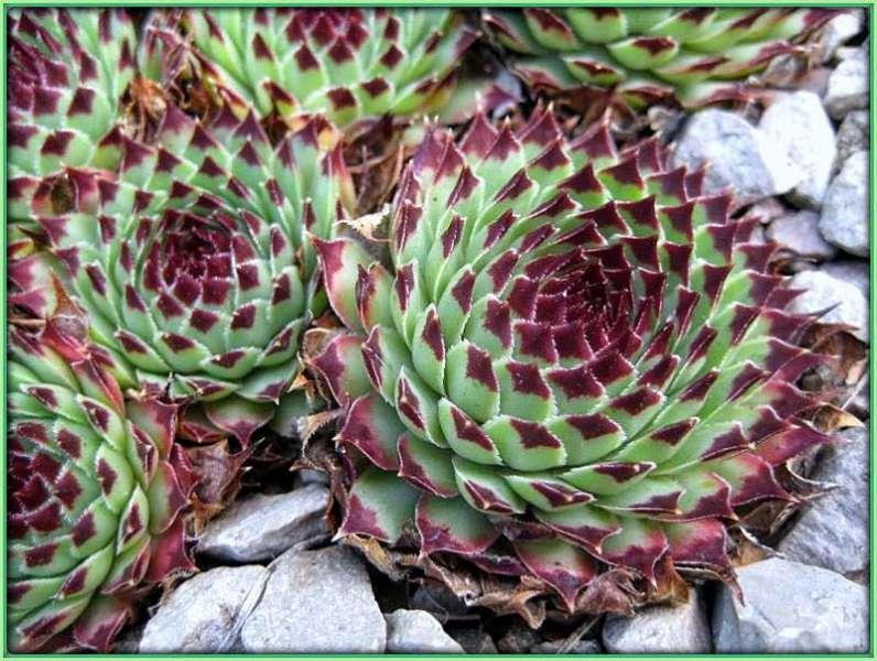 Biljke koje štite bubrege