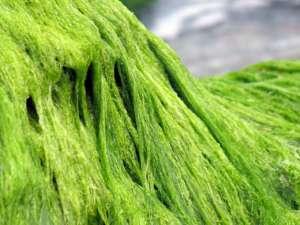 Nori alge