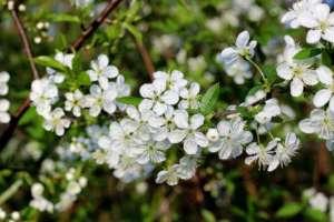 cvijet trnine